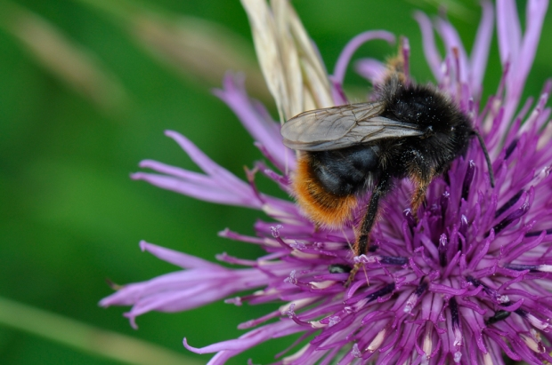 Red-tailed Cuckoo Bumblebee