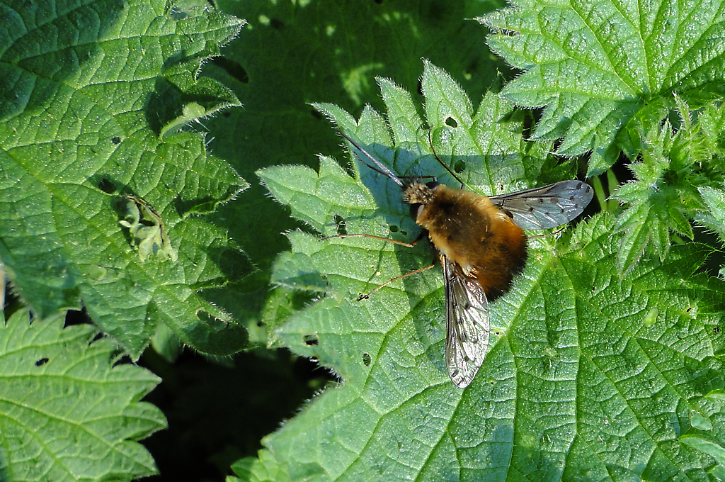 Dotted Bee-fly