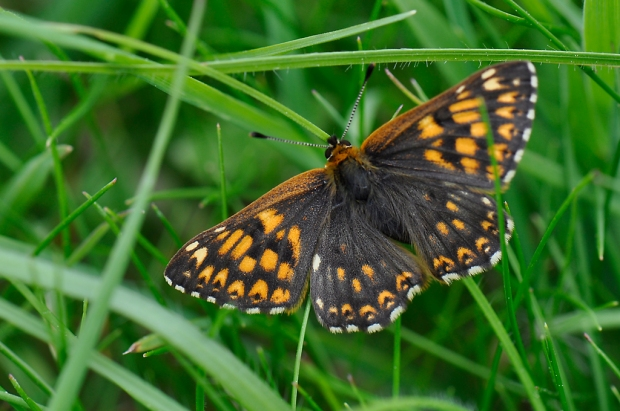 Duke of Burgundy butterfly - Male
