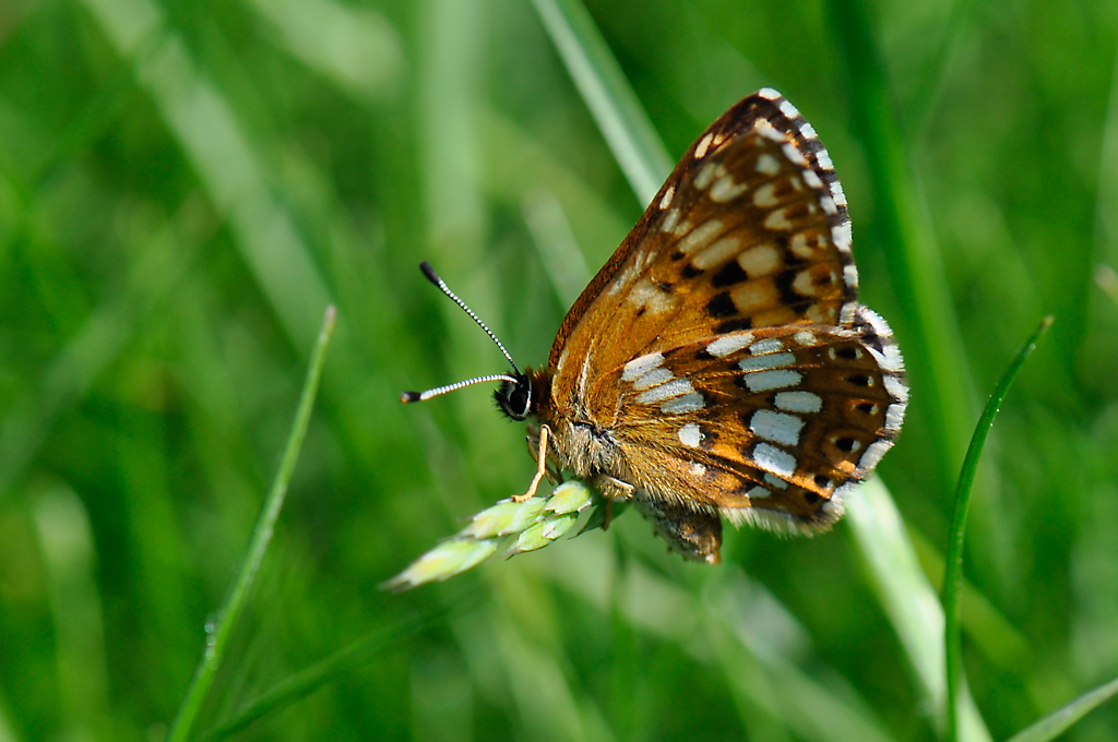 Duke of Burgundy butterfly - Side view