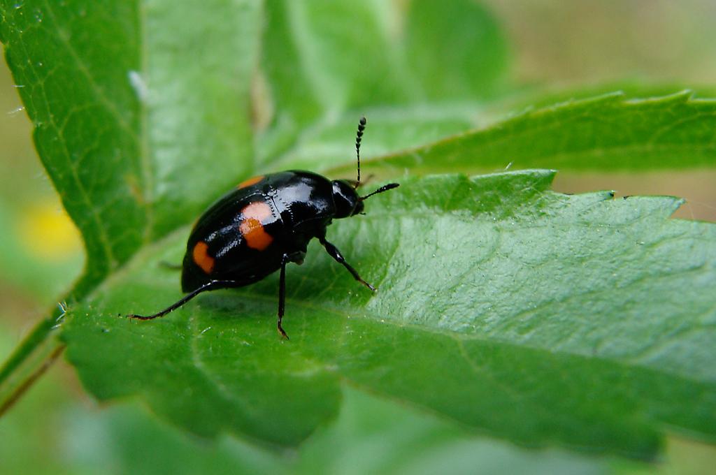 Shining Fungus Beetle