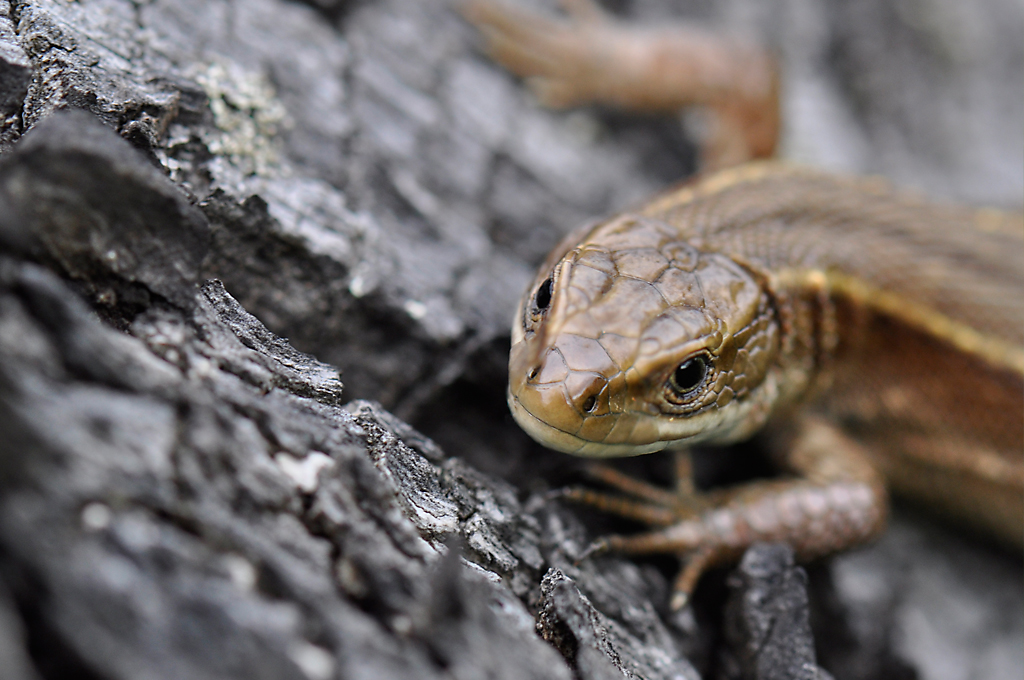Viviparous Lizard - Female