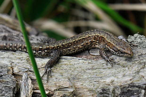 Viviparous Lizard (Male)