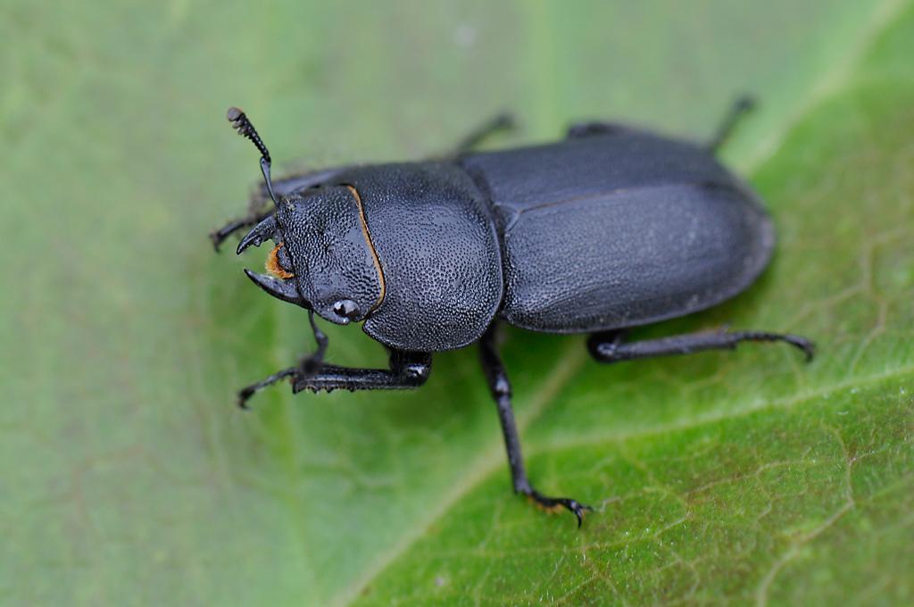 Dorcus parallelipipedus – Male