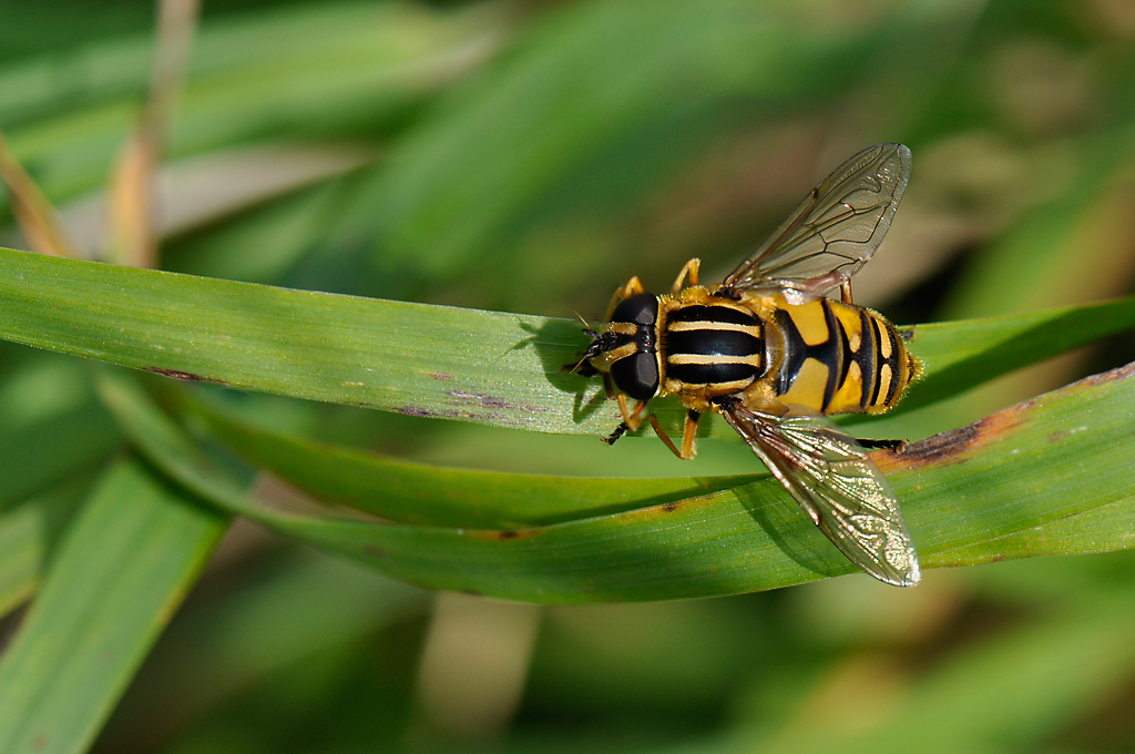 Hover-fly Helophilus pendulus