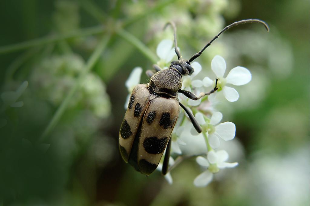 Longhorn flower beetle judolia cerambyciformis
