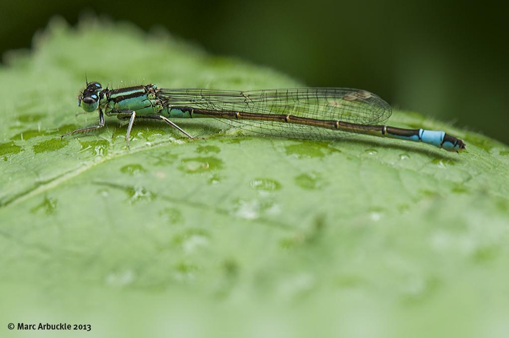 Blue-tailed Damselfly – Ischnura elegans