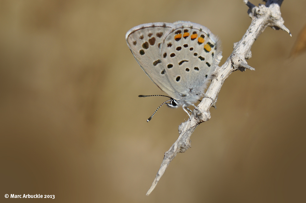 Eastern Baton Blue butterfly – Pseudophilotes vicrama