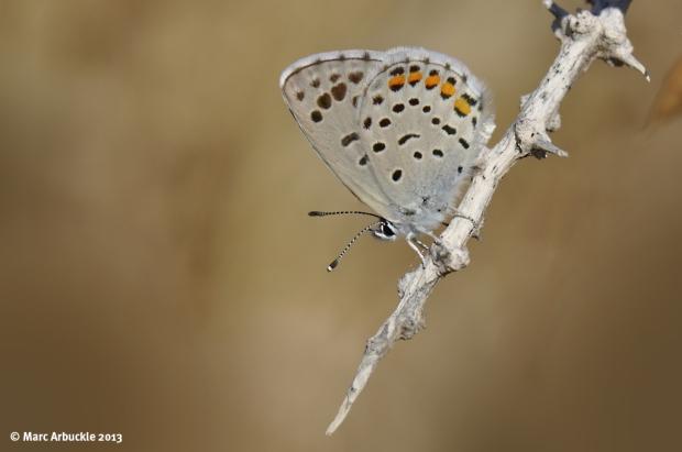 Eastern Baton Blue butterfly – Pseudophilotes vicrama