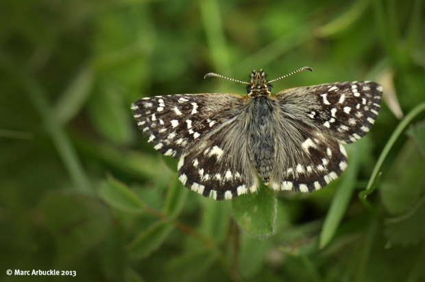 Grizzled Skipper Butterfly – Pyrgus malvae