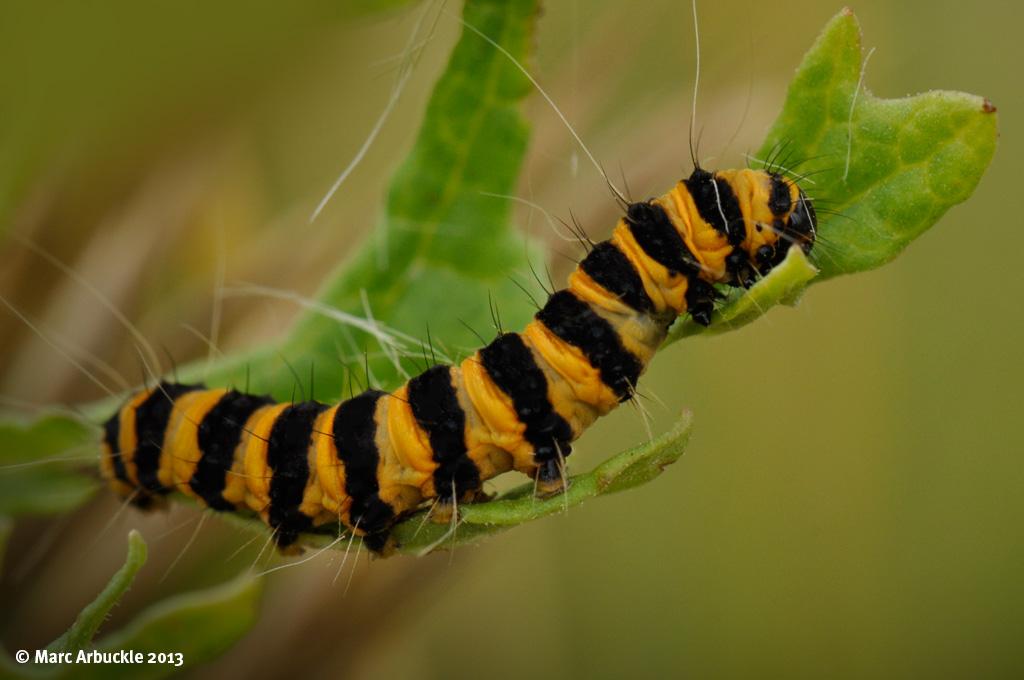 Cinnabar Moth Caterpillar – Tyria jacobaeae