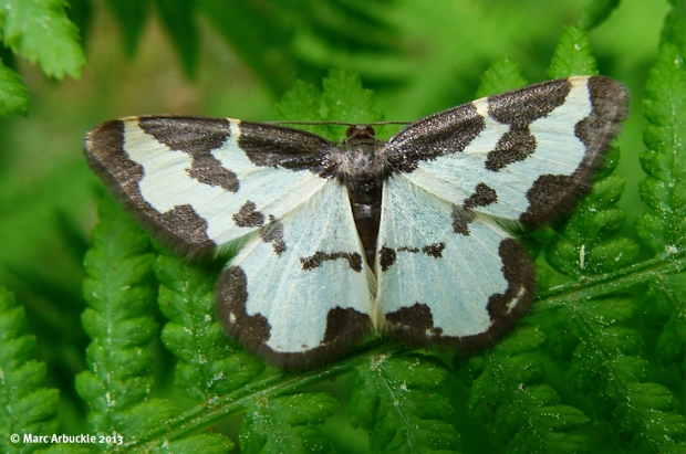 Clouded Border Moth – Lomaspilis marginata