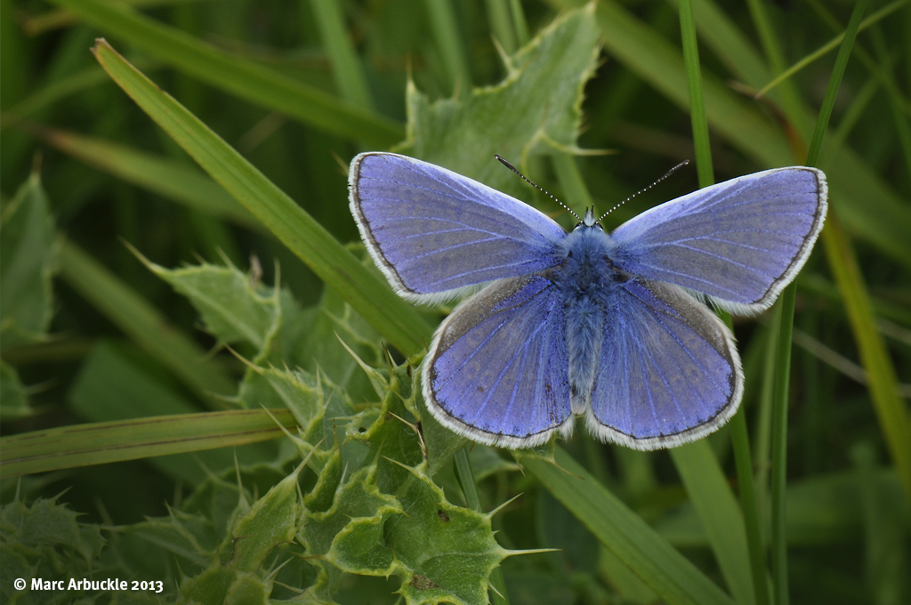 Common Blue – Polyommatus icarus (Male)