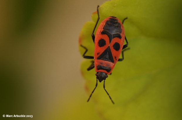 Fire Bug – Pyrrhocoris apterus