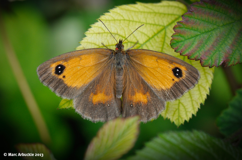 Gatekeeper Butterfly – Pyronia tithonus