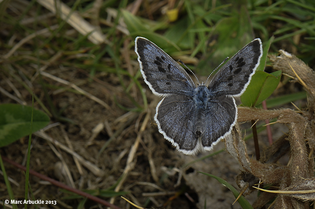 Large Blue Butterfly – Maculinea arion (Female)