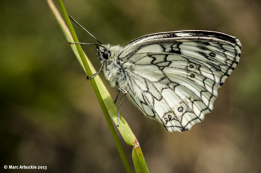 Marbled White Butterfly – Melanargia galathea (Male)