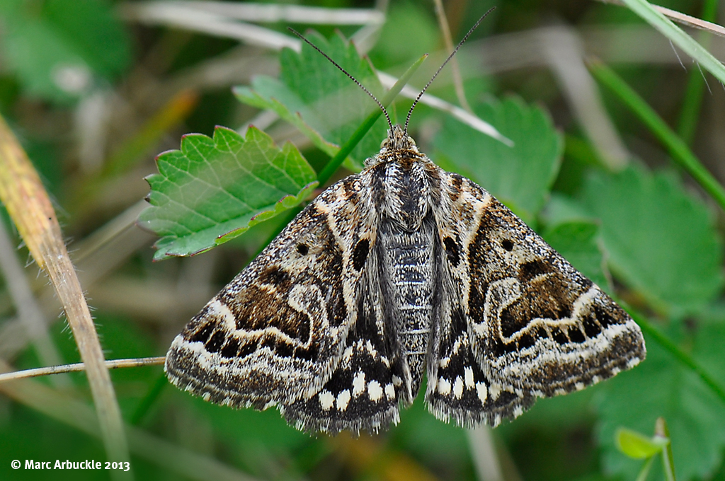 Mother Shipton Moth – Callistege mi
