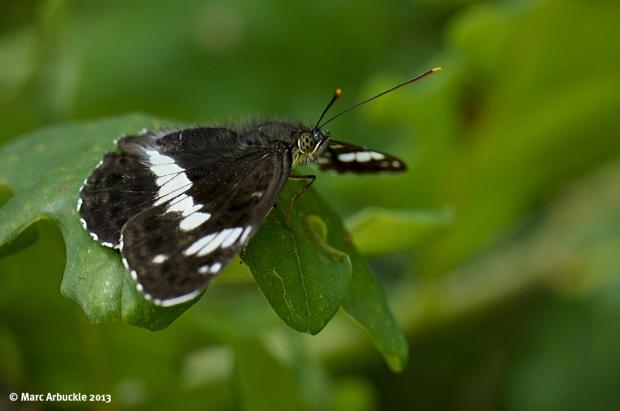 White Admiral – Limenitis camilla (Male)