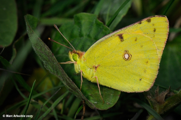 Clouded Yellow – Colias croceus (Male)