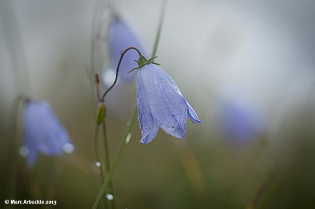 Harebell – Campanula rotundifolia