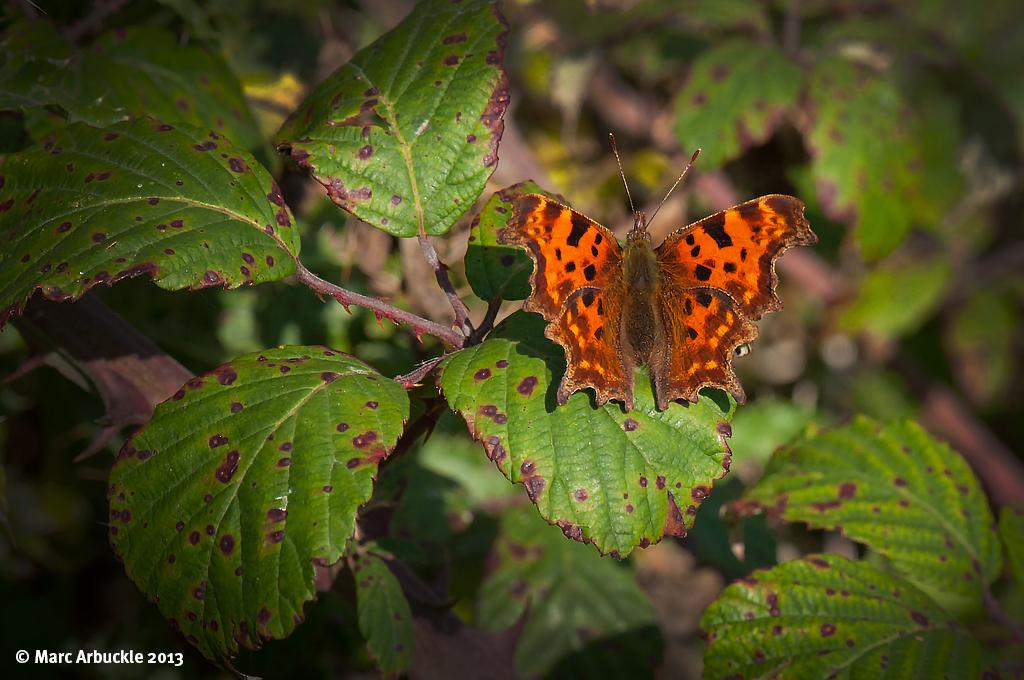 Comma Butterfly – Polygonia c-album (Female)