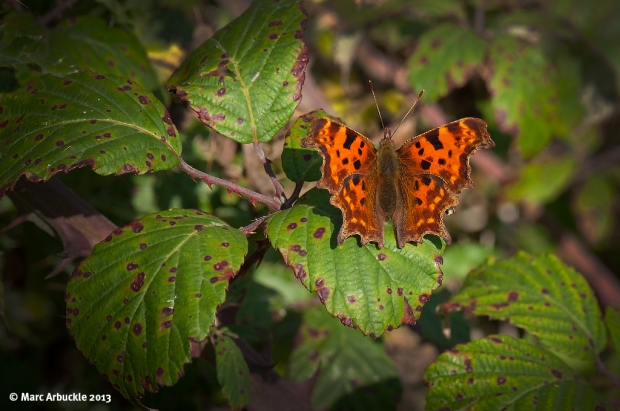 Comma Butterfly – Polygonia c-album (Female)