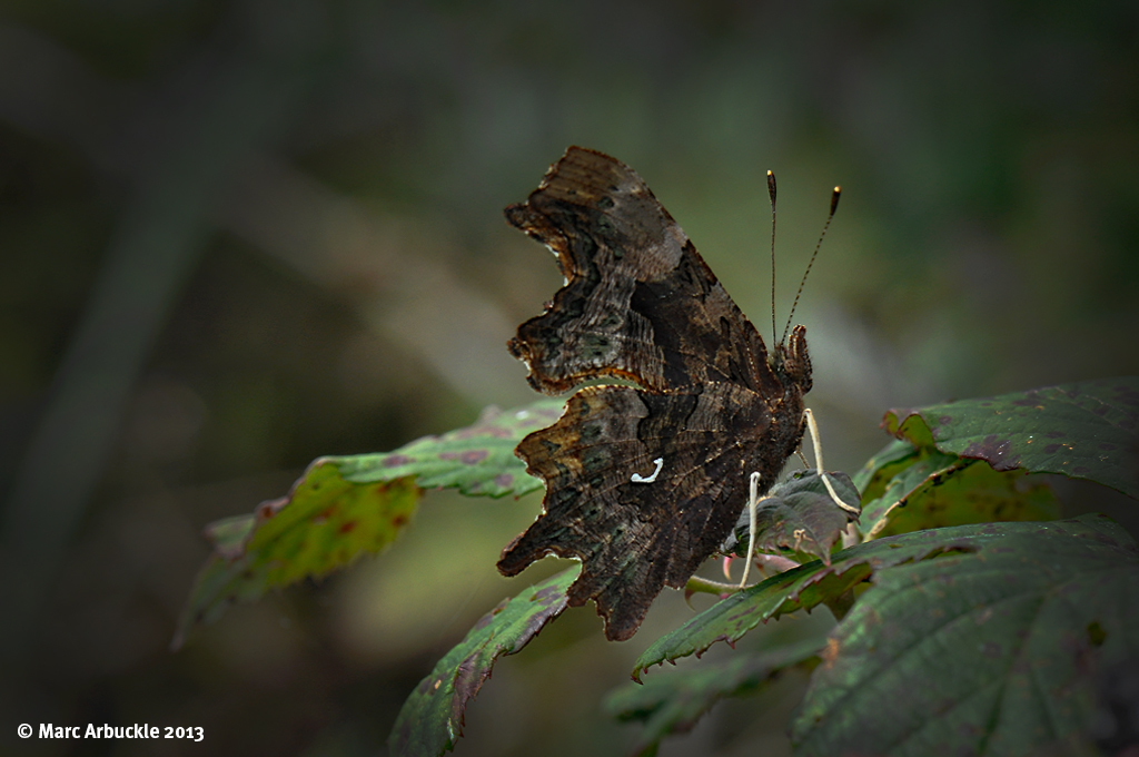 Comma butterfly with wings closed – Polygonia c-album (Female