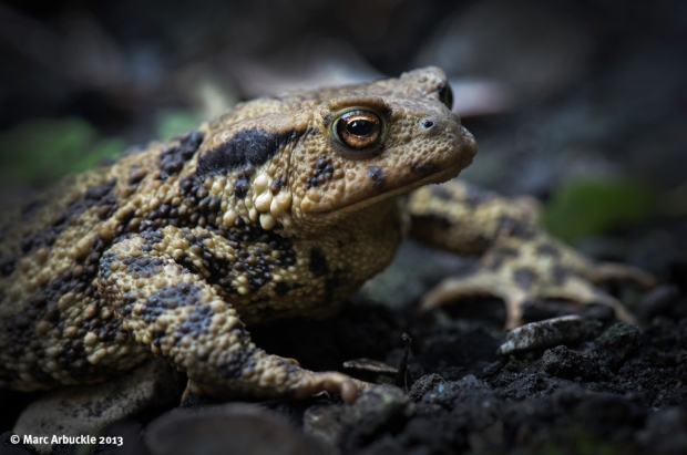 The Common or European Toad – Bufa bufa