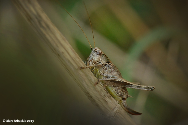 Dark Bush Cricket – Pholidoptera griseoaptera – Female