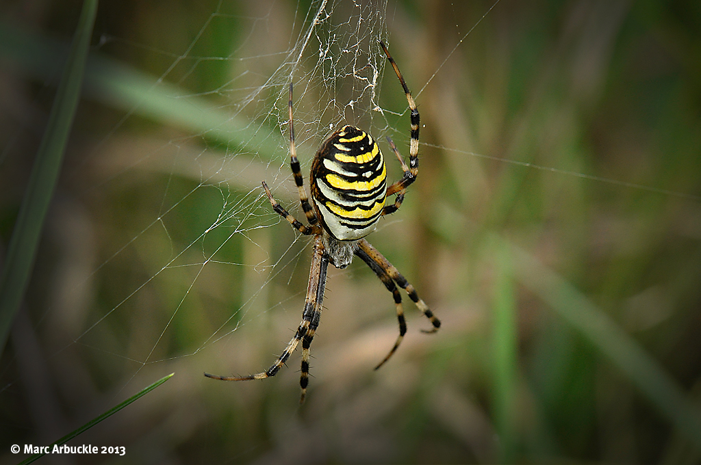 wasp spider – argiope bruennichi – female