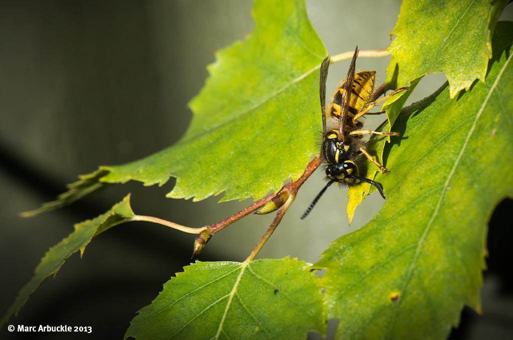 Common Wasp – Vespula vulgaris