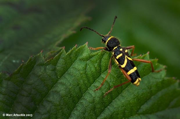 Wasp Beetle Clytus arietis