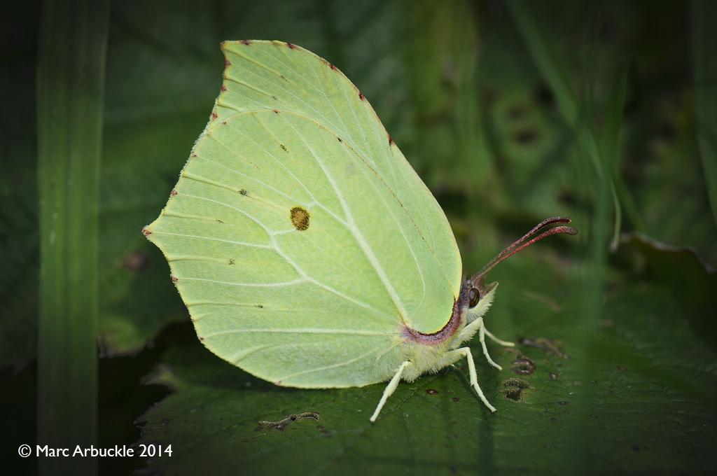 Male Brimstone butterfly, Gonepteryx rhamni