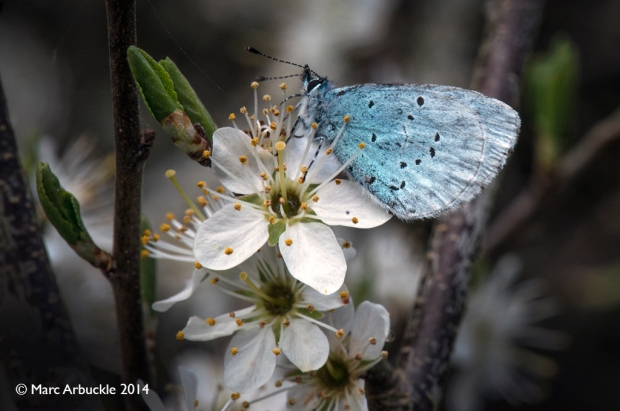 Holly Blue, Male