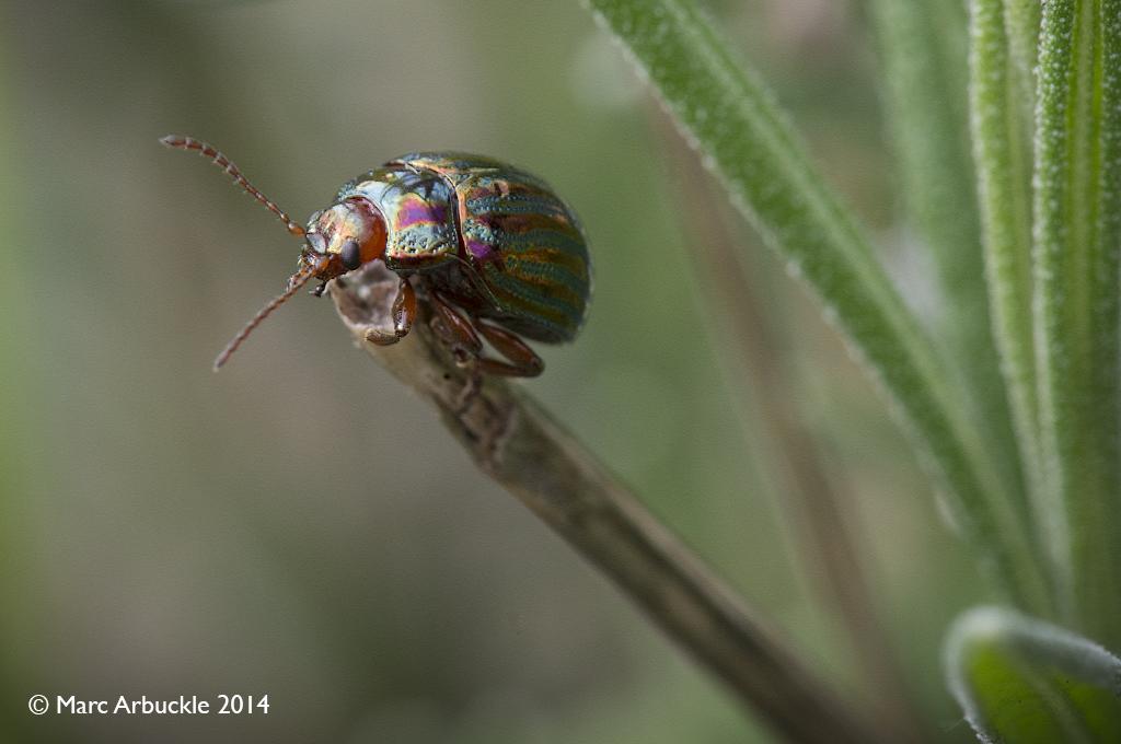 Rosemary Beetle, Chrysolina americana