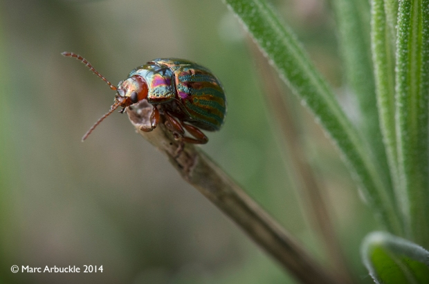 Rosemary Beetle, Chrysolina americana