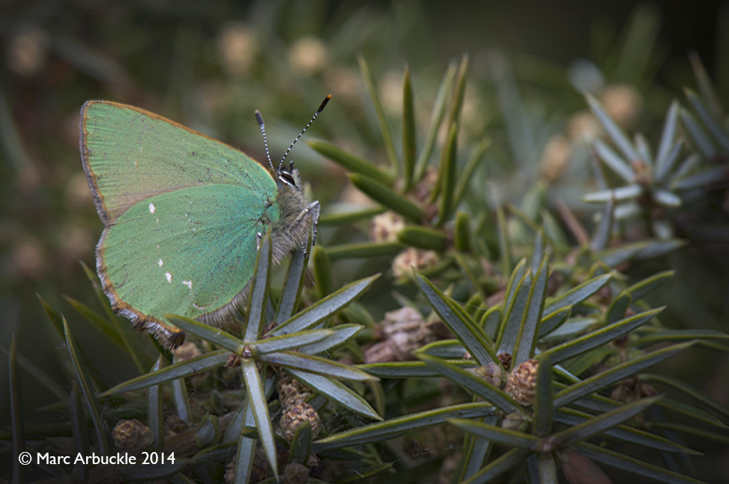 Green Hairstreak butterfly, Callophrys rubi, Male