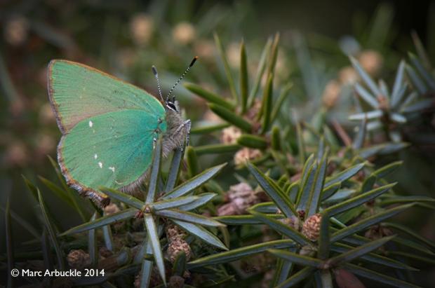 Green Hairstreak butterfly, Callophrys rubi, Male