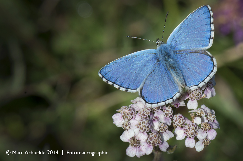 Adonis Blue butterfly, polyommatus bellargus, male