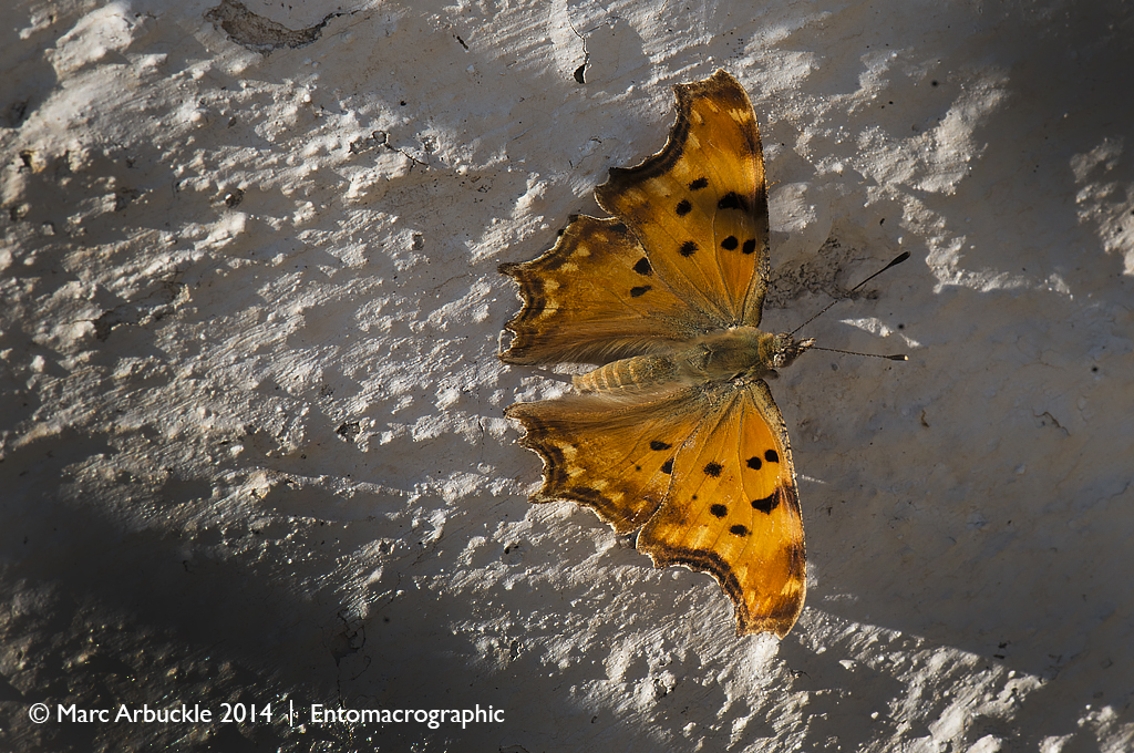 Southern comma butterfly, Polygonia egea