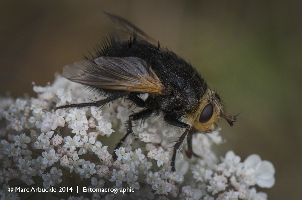 Giant Tachanid Fly, Tachina grossa