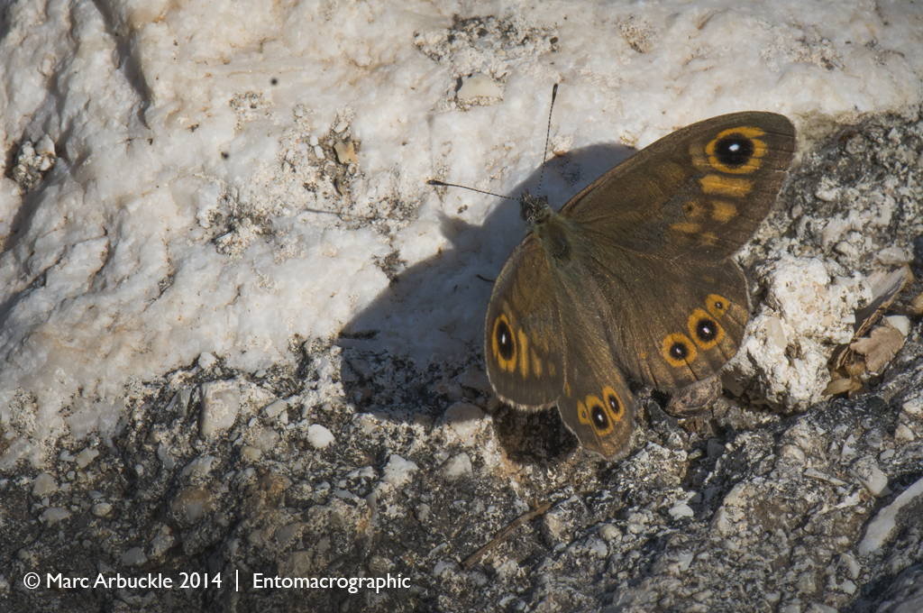 Large Wall butterfly, Lasiommata maera – male