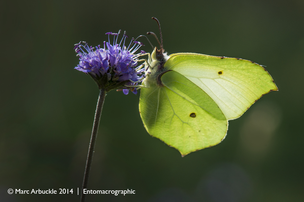 Brimstone butterfly, Gonepteryx rhamni, male