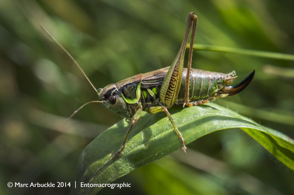 Roesel's Bush-cricket, Metrioptera roeselii, male