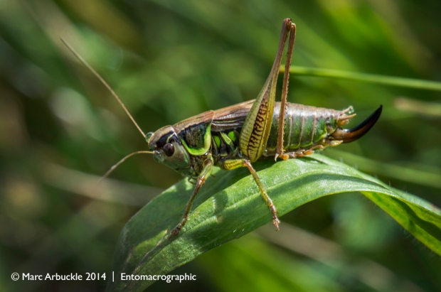 Roesel's Bush-cricket, Metrioptera roeselii, male