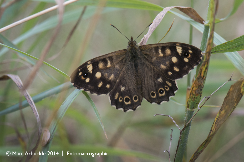 Speckled Wood, Pararge aegeria, male