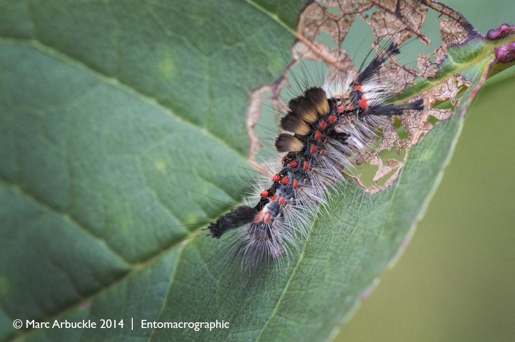 Vapourer Moth caterpillar, Orgyia antiqua
