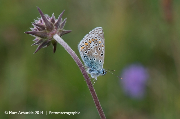 Common Blue butterfly, Polyommatus icarus, female