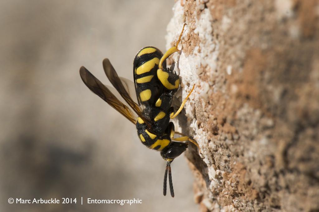 Parasitoid wasp, Leucospis gigas, female